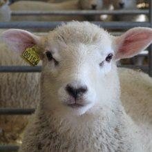 Uppfödningens inverkan på köttkvaliteten hos lamm