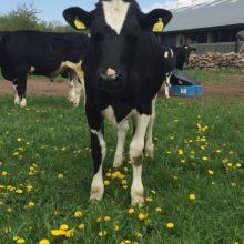 Viktigt med satsning på tillväxt inom svensk mjölkproduktion