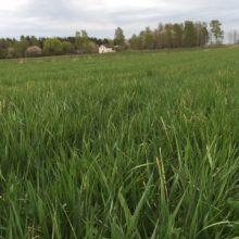 Svensk-dansk satsning på fleråriga grödor som råvara till bioraffinaderi och högvärdigt proteinfoder