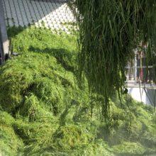Raffinering av biomassa från vall